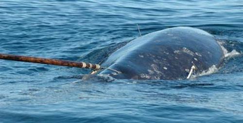 Браконьеры охотятся на китов (8 фото)