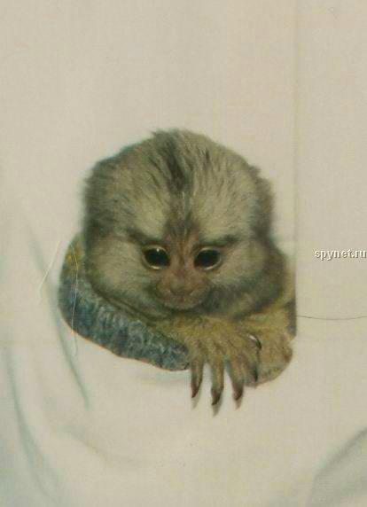 Карманные обезьянки (12 фото) .