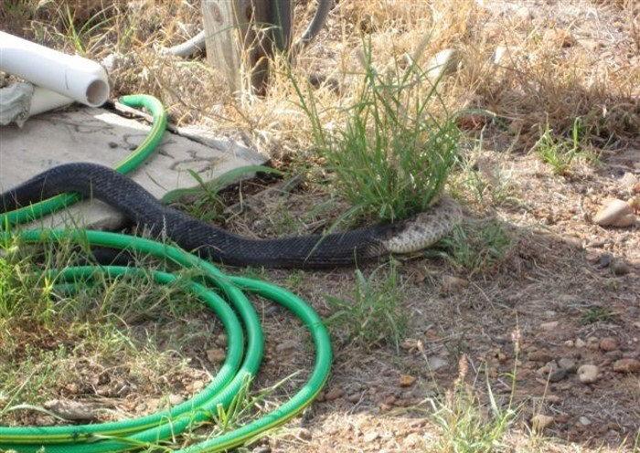 Битва змей (7 фото)