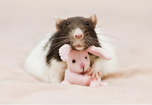 Прикольные фото смеющейся мыши крысы фото 347-908