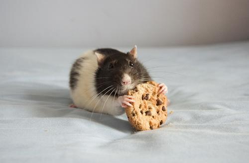 Прикольные фото смеющейся мыши крысы фото 347-843