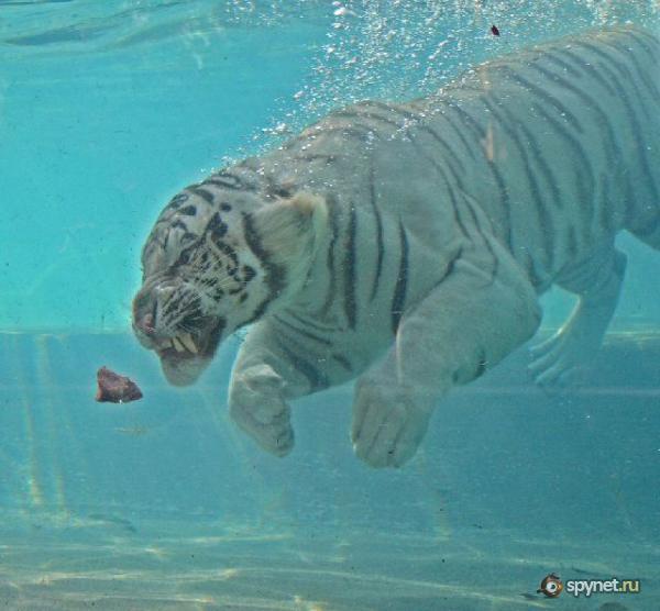 Кормление белого тигра (29 фото)