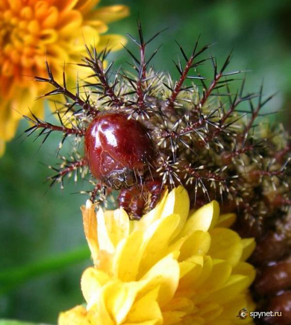 Диковинные гусеницы (33 фото)