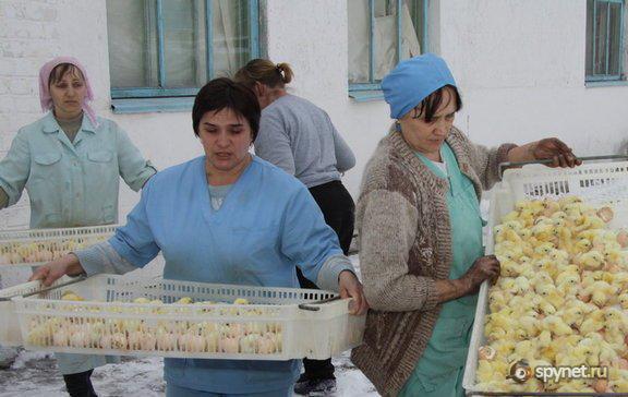 300 тысяч цыплят выбросили погибать на мороз (6 фото + текст)