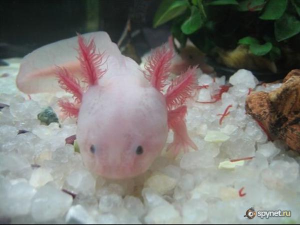Рыбка ходячая (3 фото)