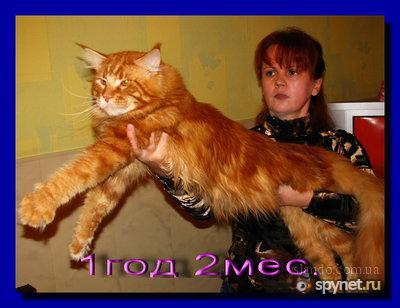 Мейн кун (другое название - Мейнская енотовая кошка).  Ну и как самый реальный