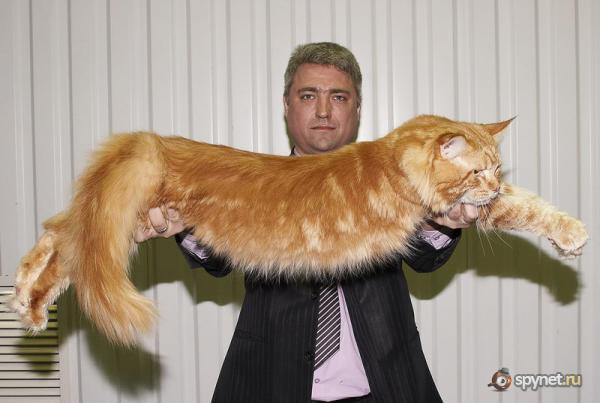 Самые большие кошки с фотографиями и названиями (цены.