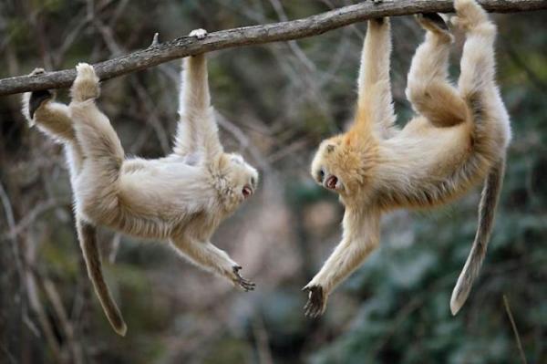 Курносая «снежная обезьяна» из Китая