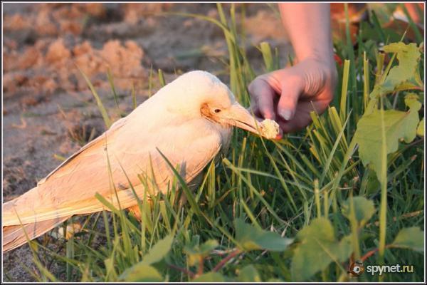 Настоящая белая ворона (4 фото)