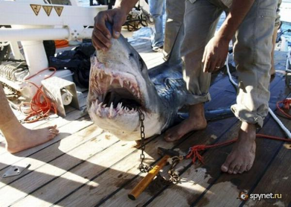 В Египте акулы едят людей (5 фото)