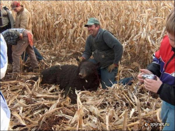 Комбайнёр убил медведя (3 фото)