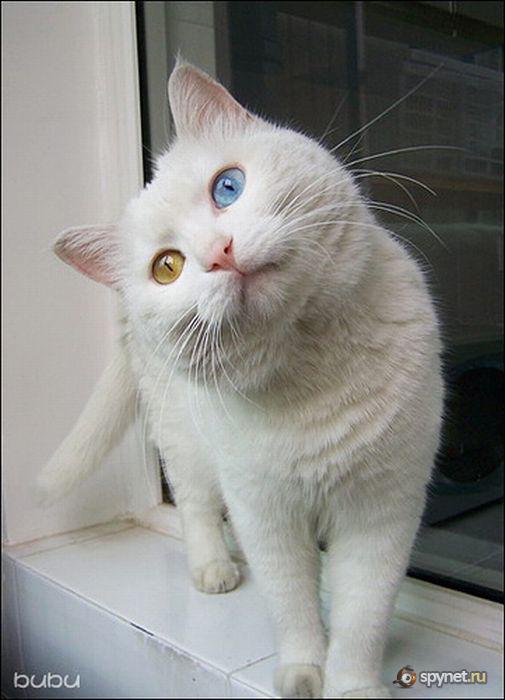 Кися с разноцветными глазами 7 фото