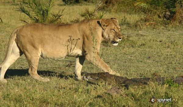 Борьба крокодила с тремя львицами (9 фото)