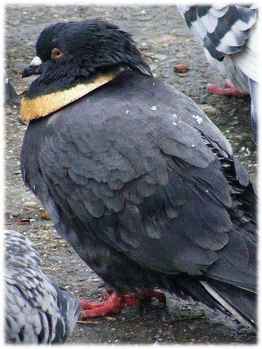 Новые русские голуби