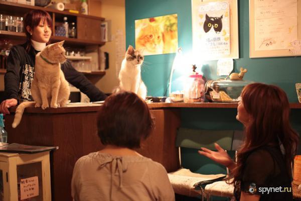 Кото-кафе в Осаке (37 фото + видео)