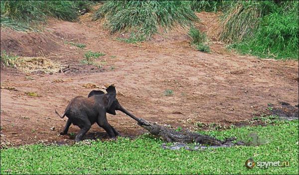 почему у слонов длинный нос???