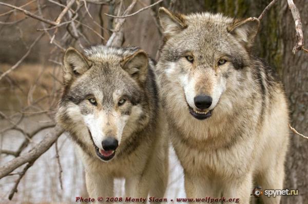 Волки, волчицы и волчата (фото+текст)