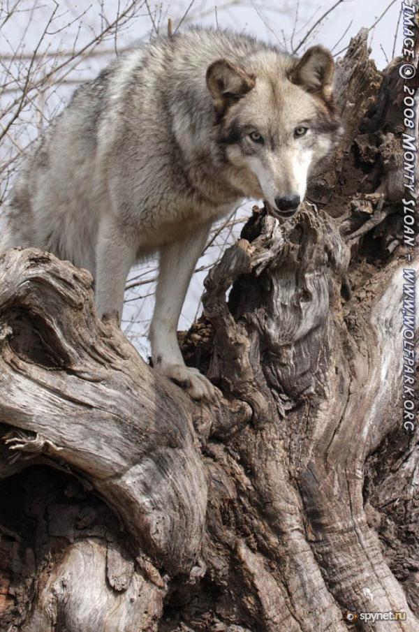 волки фото волчата
