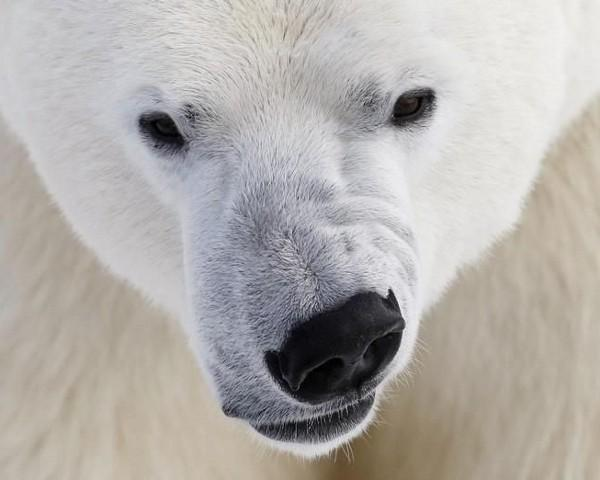 Белый медведь разгуливает по улицам Барнаула
