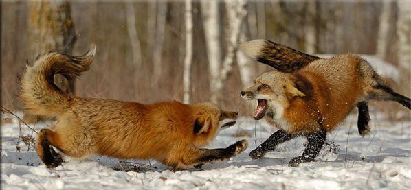 Животные конфликты
