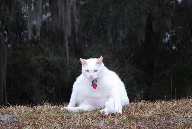 Толстые домашние животные из семейства кошачьих отряда хищных (31 фото)